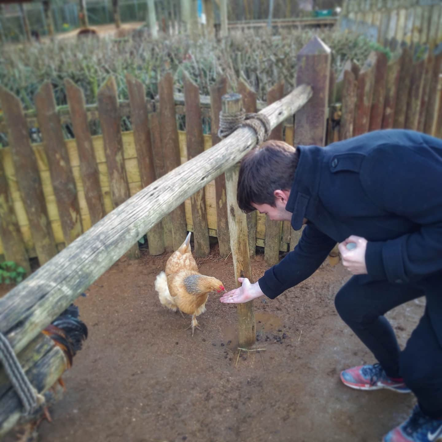 Feeding chickens at Colchester Zoo